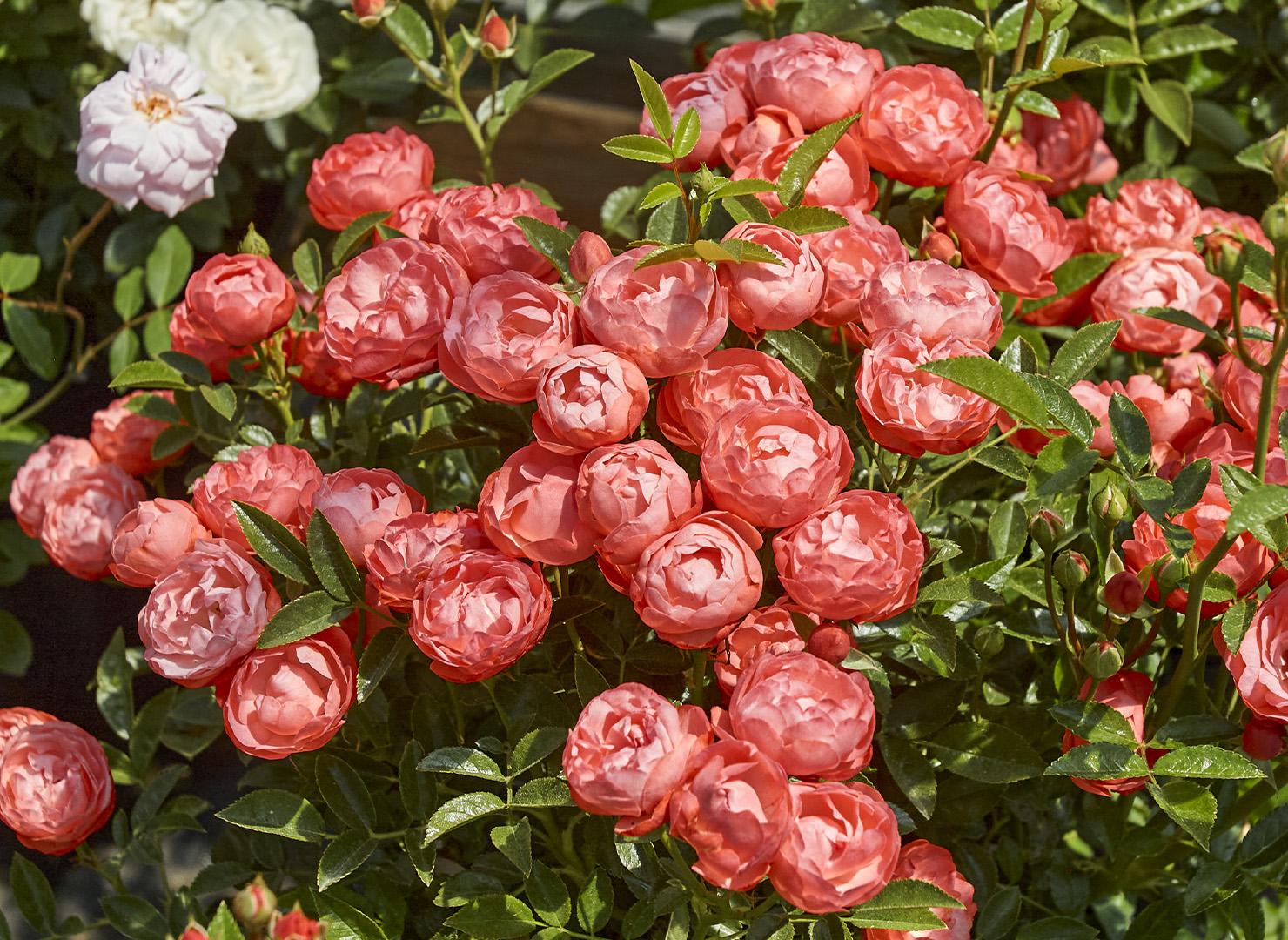 オレンジ マザーズディ - Orange Mothersday