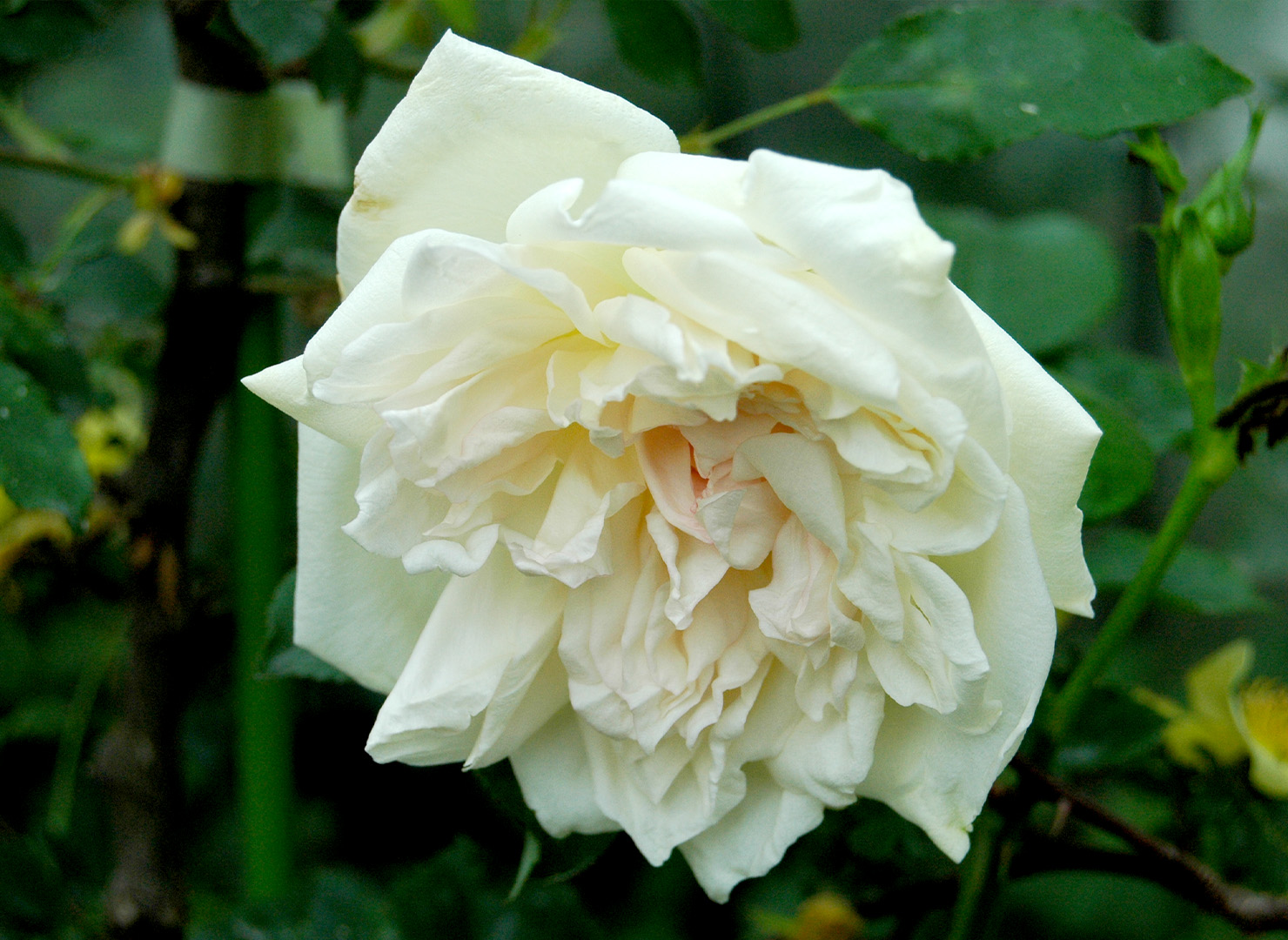 パークス イエロー ティー センティド チャイナ - Parks' Yellow Tea-scented China