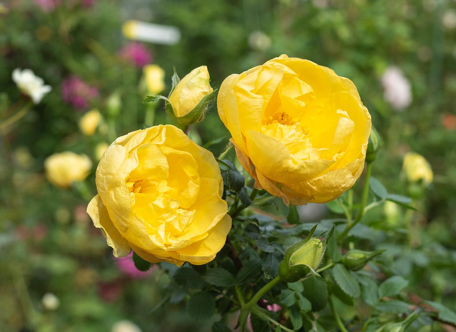 ペルシャン イエロー - Persian Yellow