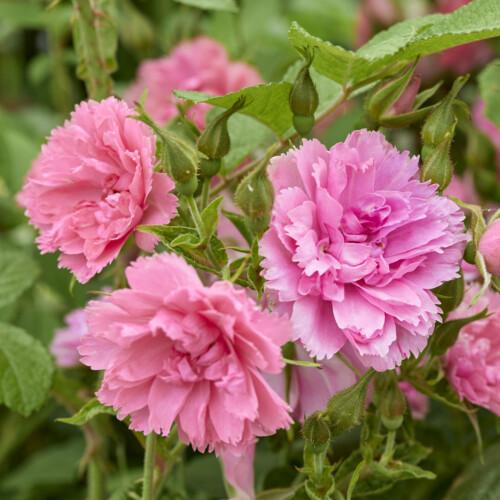 ピンク グルーテンドルスト - Pink Grootendorst