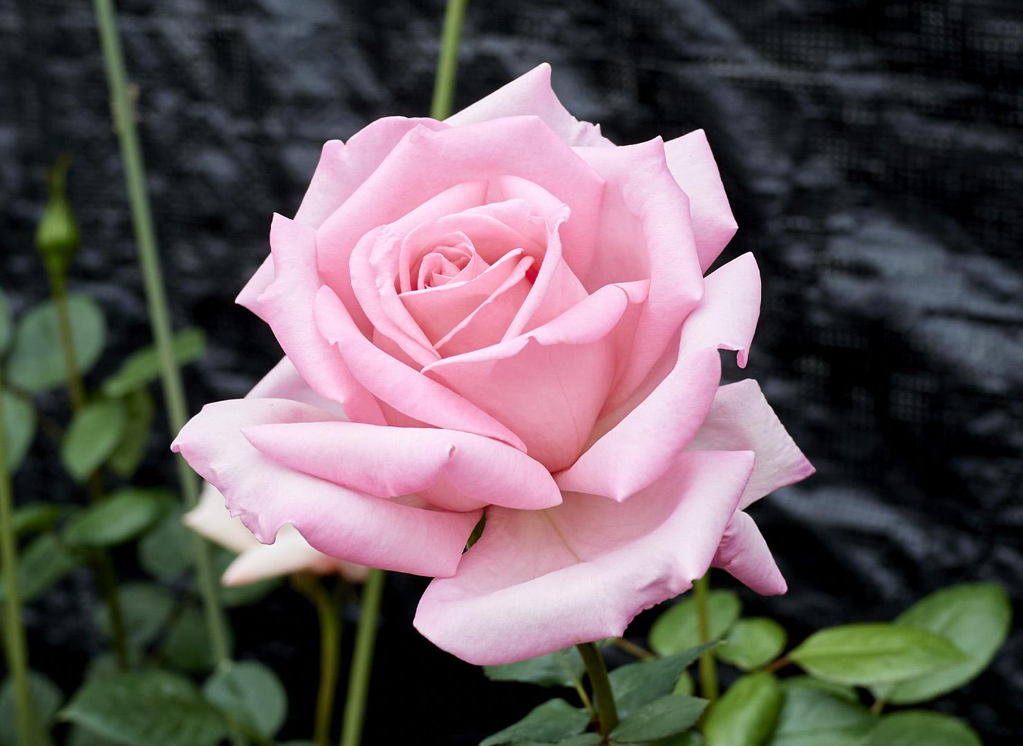 ピンク ラスター - Pink Lustre