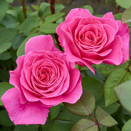 ピンク ピース - Pink Peace