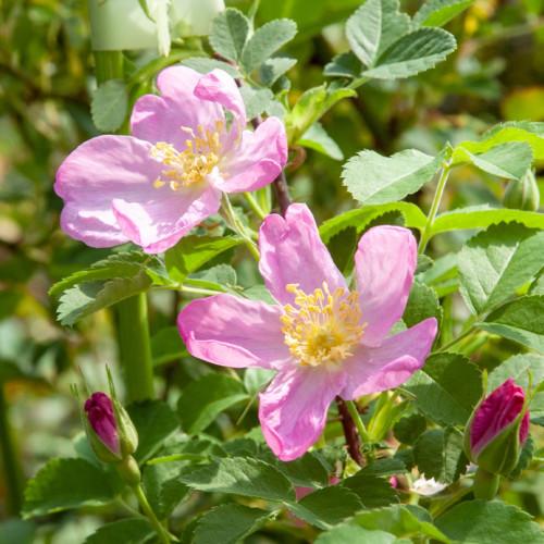 ロサ アキキュラリス (バイカル湖産) - Rosa aciciularis