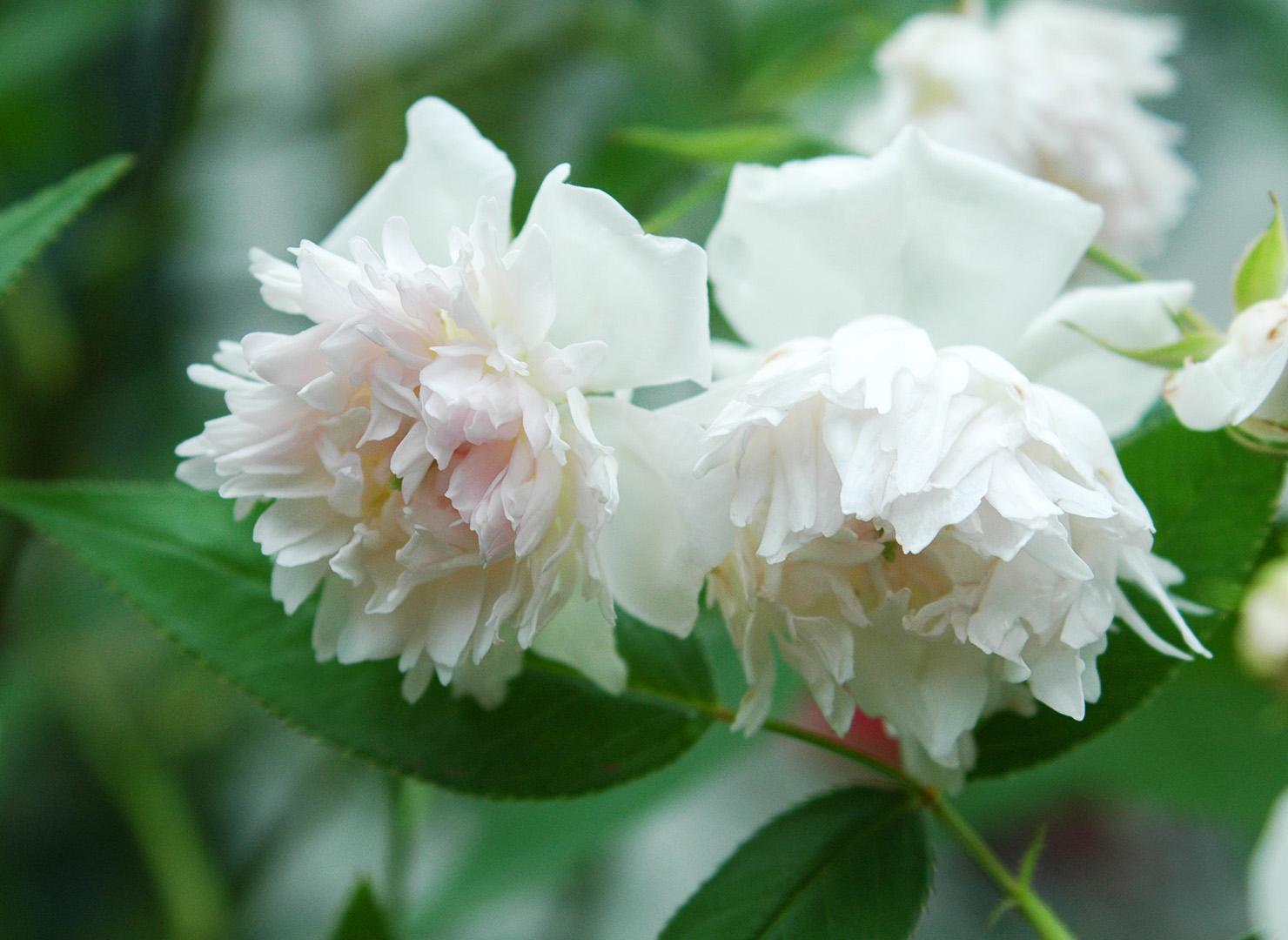 ロサ アネモネフローラ - Rosa anemoneflora