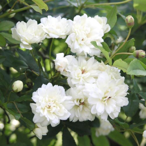 白木香ばら 八重 - Rosa banksiae alba
