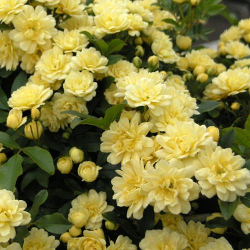 黄木香ばら 八重 - Rosa banksiae lutea