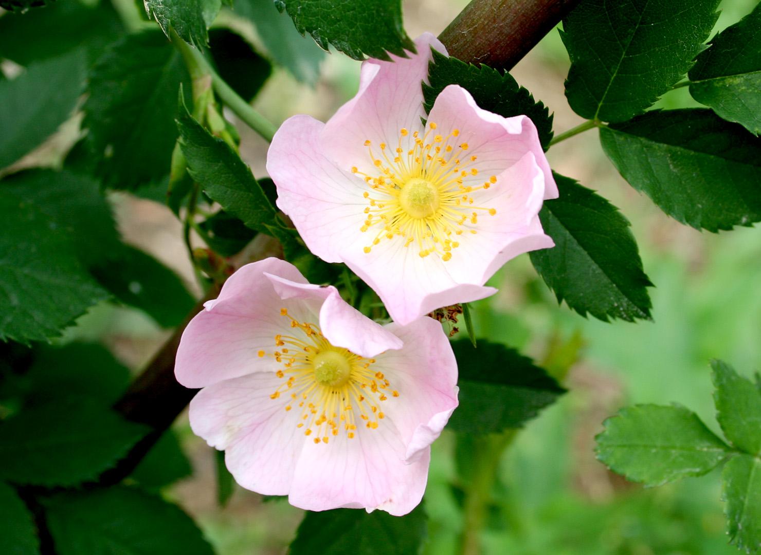 ロサ カニナ - Rosa canina