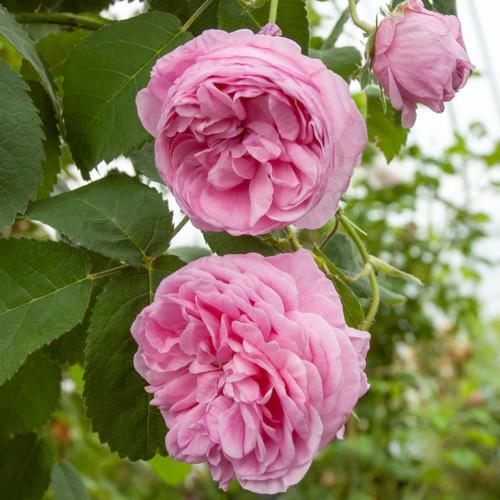 ロサ ケンティフォリア - Rosa centifolia