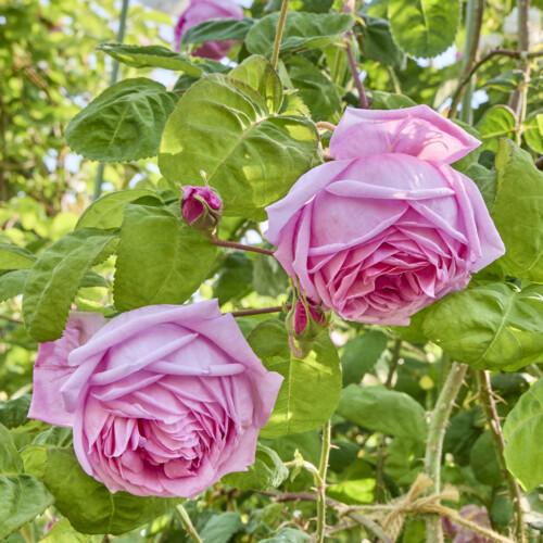 ロサ ケンティフォリア ブラータ - Rosa centifolia bullata