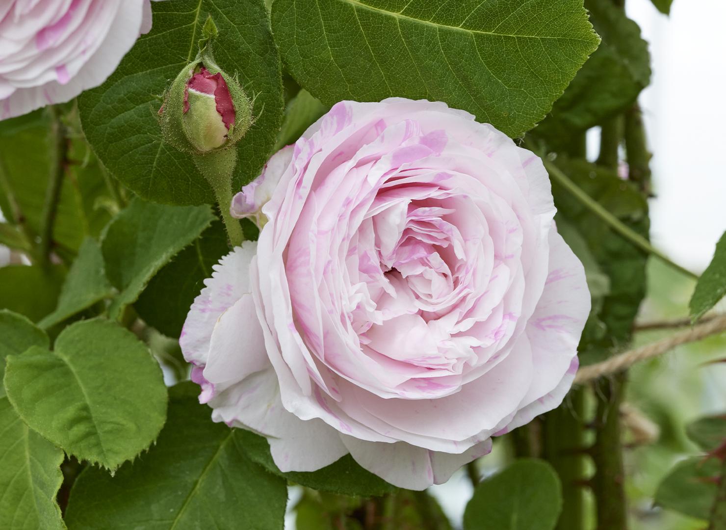 ロサ ケンティフォリア バリエガタ - Rosa centifolia variegata