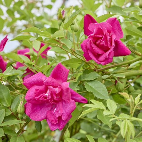 ロサ キネンシス - Rosa chinensis