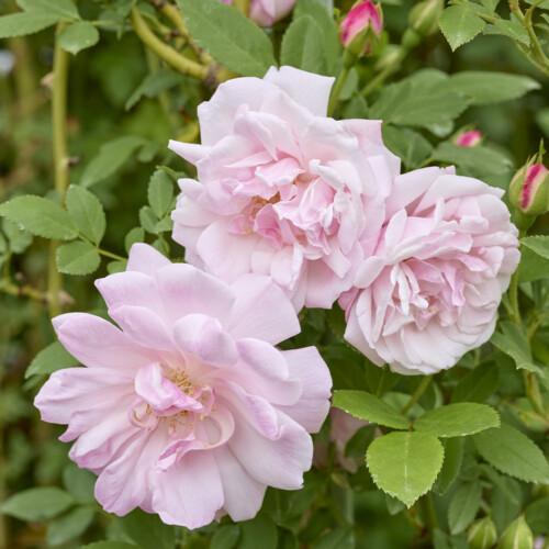 ロサ キネンシス アルバ - Rosa chinensis alba
