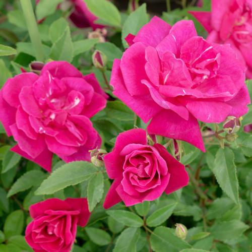ロサ キネンシス ブッシュ - Rosa chinensis Bush