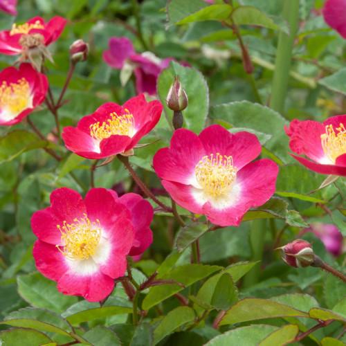 ロサ キネンシス 一重 - Rosa chinensis