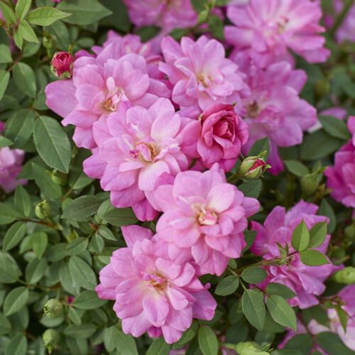 ロサ キネンシス ミニマ - Rosa chinensis minima