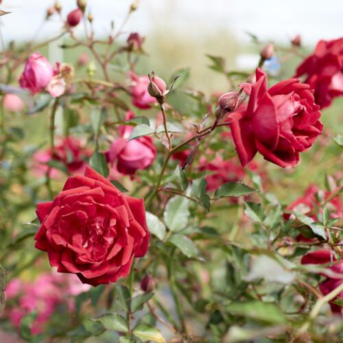 ロサ キネンシス センパフローレンス  - Rosa chinensis semperflorens