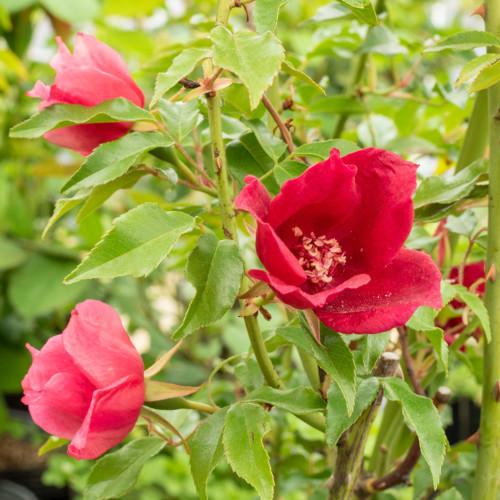 ロサ キネンシス スポンタネア - Rosa chinensis spontanea