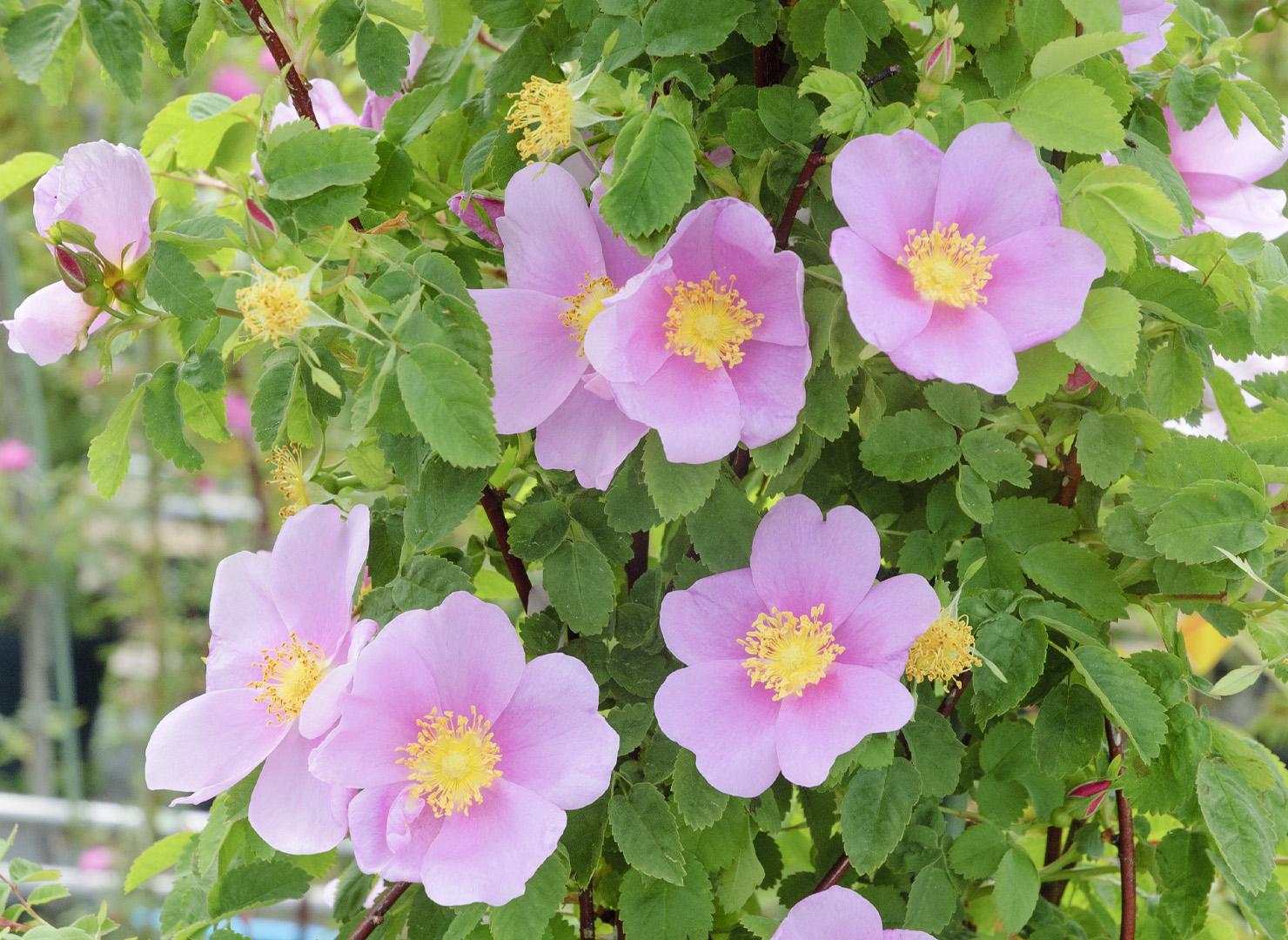 ロサ シナモメア - Rosa cinnamomea