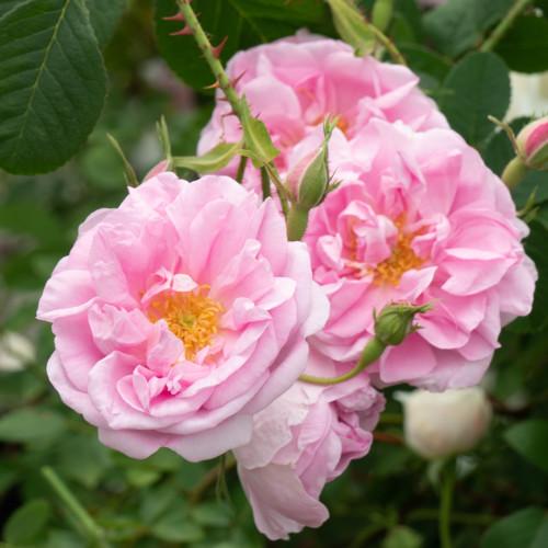 ロサ ダマスケナ トリギンティペタラ - Rosa damascena trigintipetala