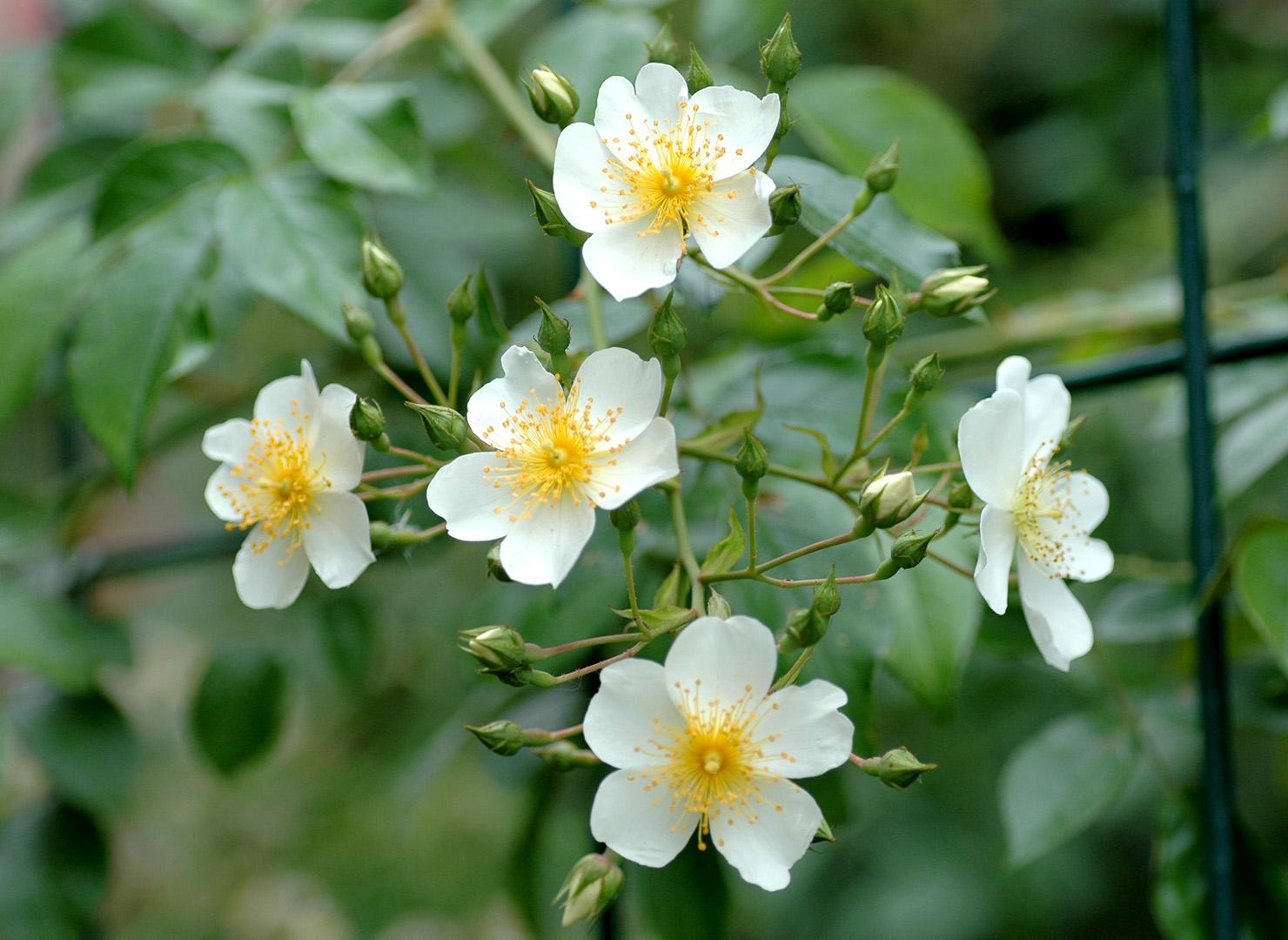 ロサ フィリペス キフツゲート - Rosa filipes 'Kiftsgate'