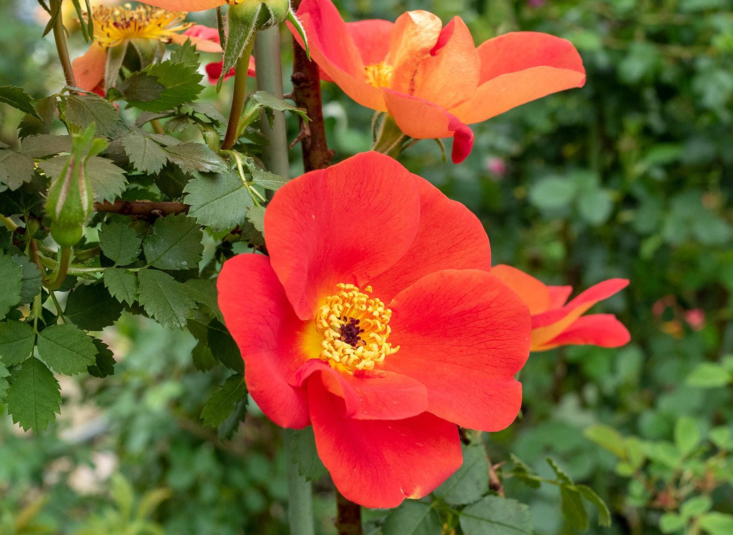 ロサ フェティダ ビカラー - Rosa foetida bicolor