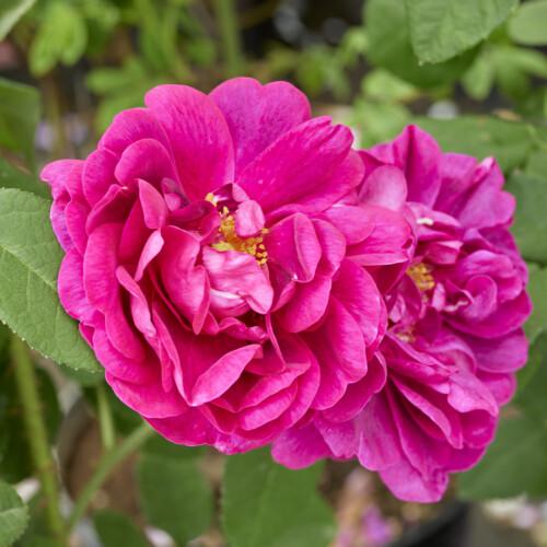 ロサ ガリカ コンディトルム - Rosa gallica conditorum