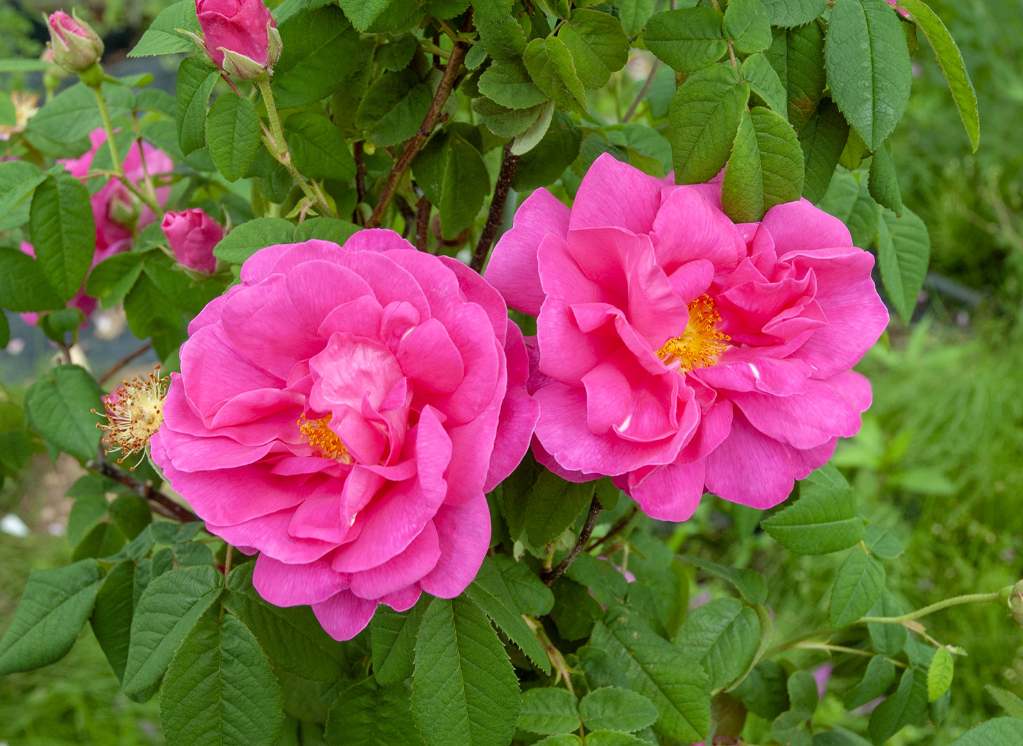 ロサ ガリカ オフィキナリス - Rosa gallica officinalis