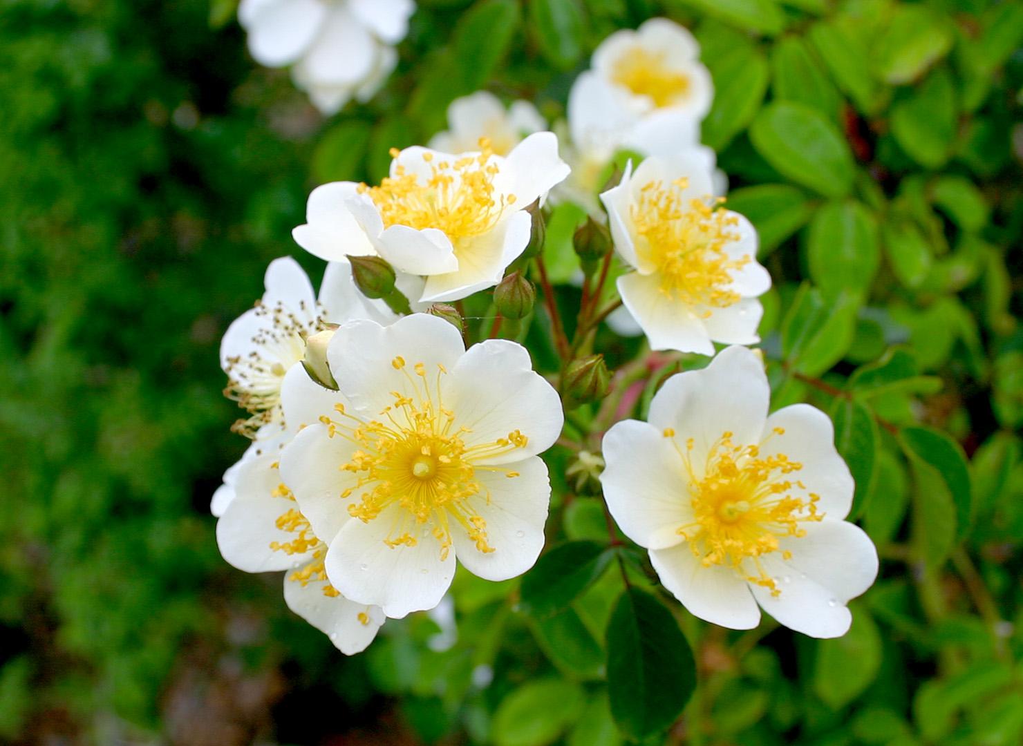 ロサ ヘレナ - Rosa helenae