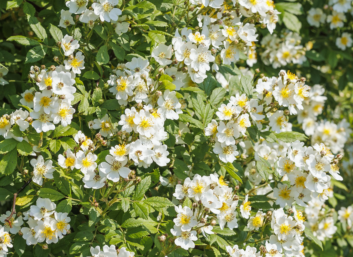 ロサ ムルティフローラ - Rosa multiflora