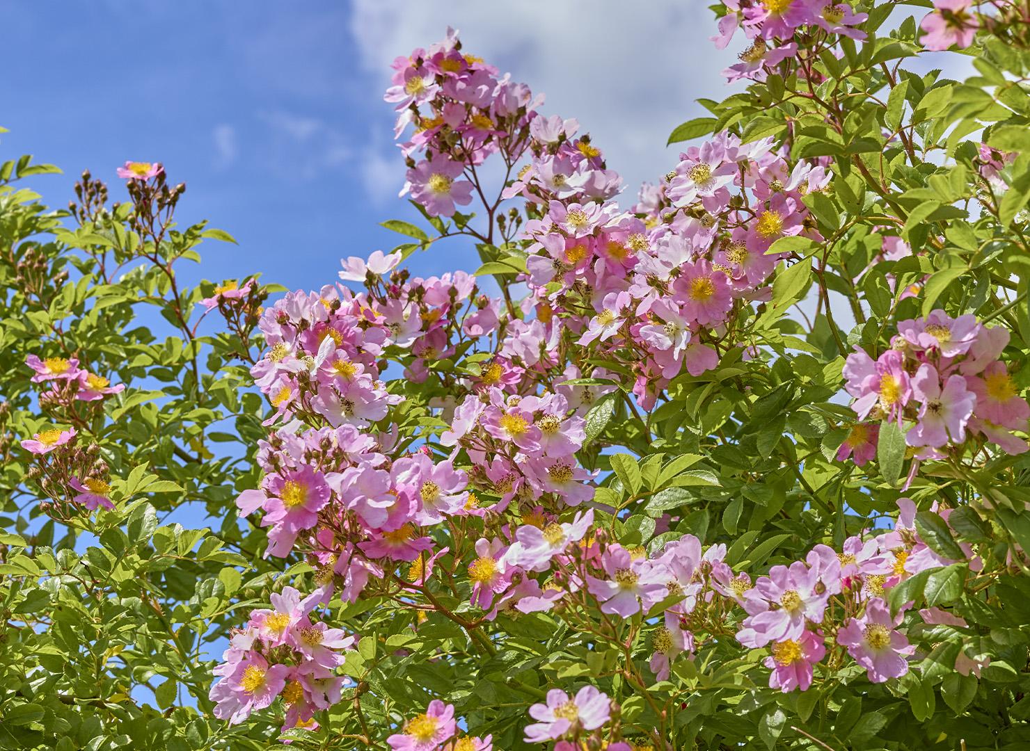 つくし野ばら - Rosa multiflora var.adenochaeta