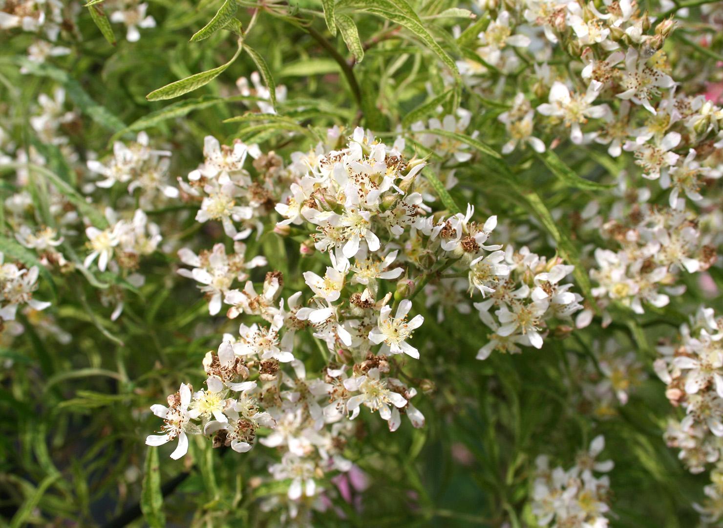 しょうのすけばら - Rosa multiflora watsoniana