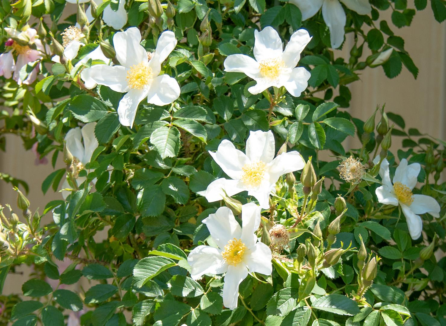 ロサ ポーリー - Rosa paulii