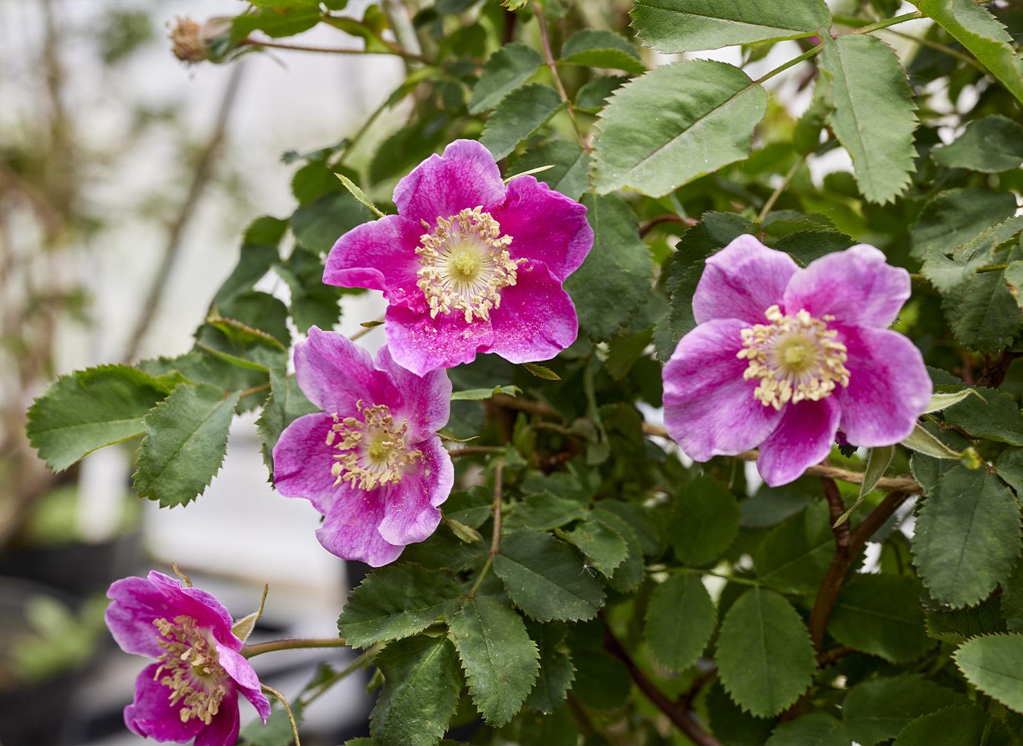 ロサ ペンデュリナ - Rosa pendulina