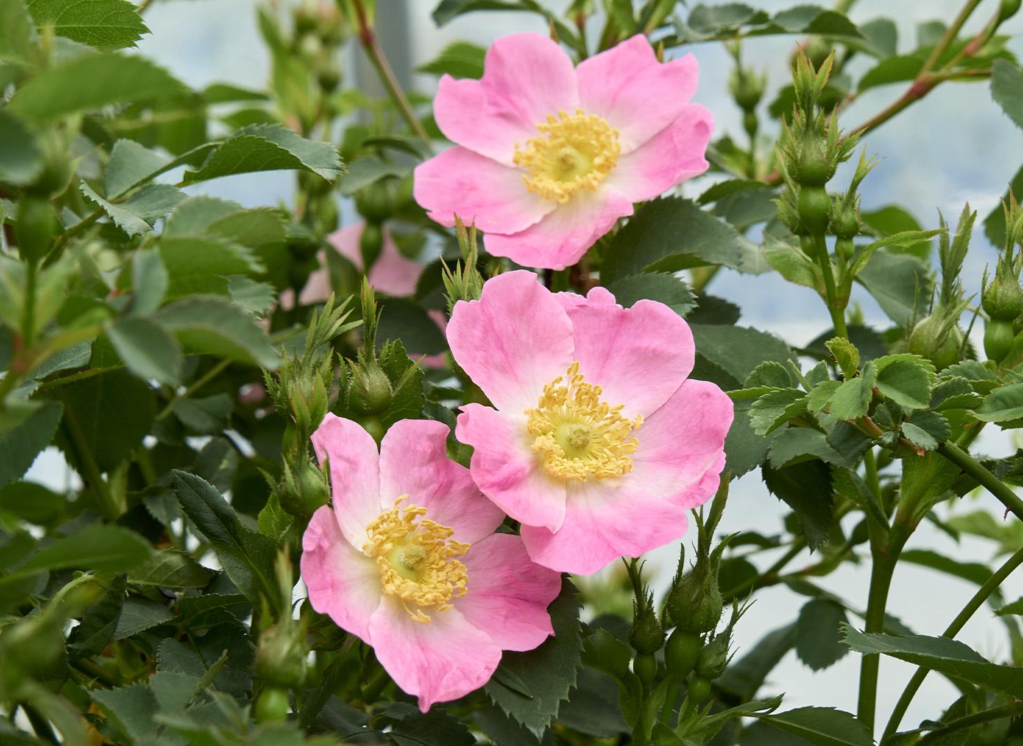 ロサ ペンデュリナ ブルゴーニュ - Rosa pendulina bourgogne