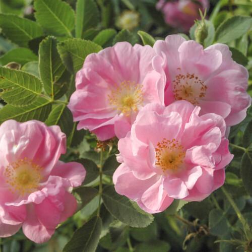 ロサ ポミフェラ デュプレックス - Rosa pomifera duplex