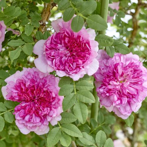 いざよいばら(十六夜ばら) - Rosa roxburghii