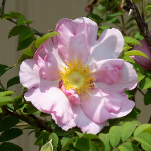 さんしょうばら 八重 - Rosa roxburghii hirtula double