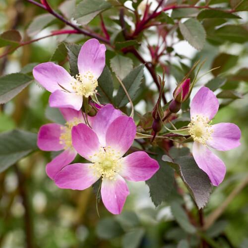 ロサ ルブリフォリア - Rosa rubrifolia