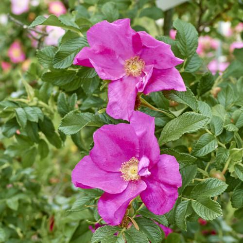 ロサ ルゴサ 一重 - Rosa rugosa