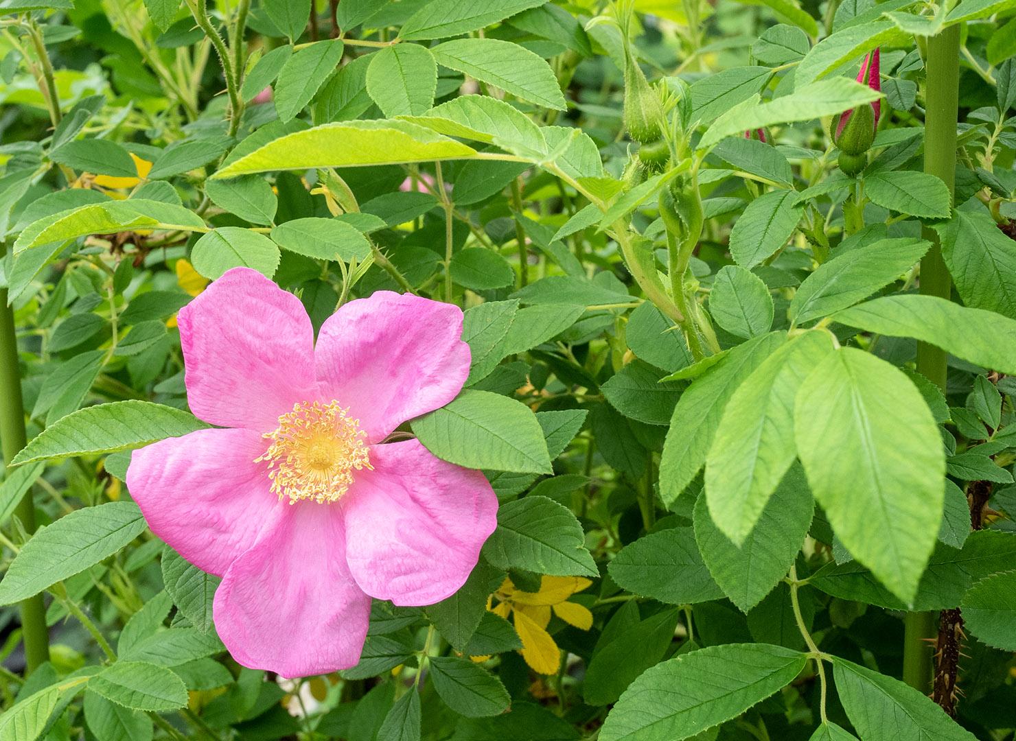 ロサ ルゴサ カロカルパ - Rosa rugosa calocarpa