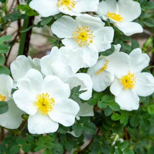 ロサ スピノシシマ - Rosa spinosissima