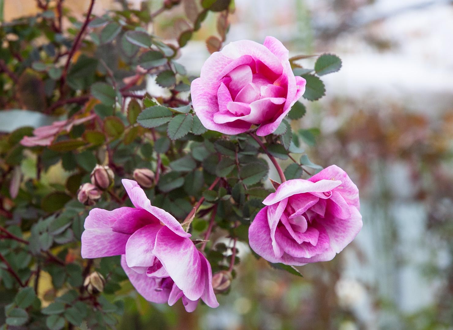 ロサ スピノシシマ ビカラー - Rosa spinosissima bicolor