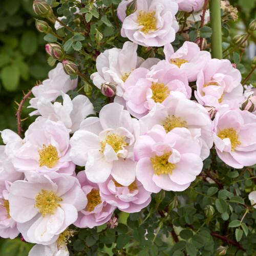 ロサ スピノシシマ ダブル ピンク - Rosa spinosissima Double Pink