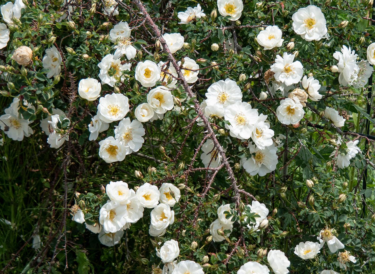 ロサ スピノシシマ ダブル ホワイト - Rosa spinosissima Double White