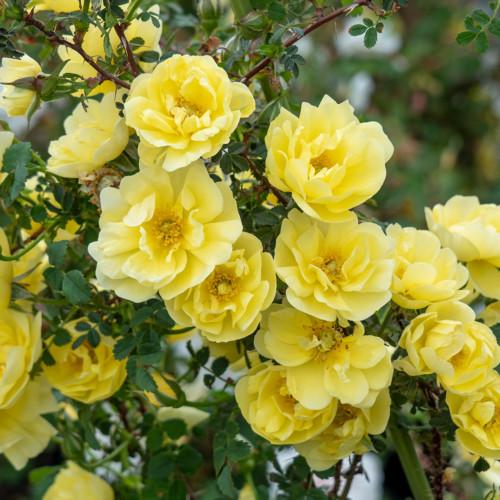 ロサ スピノシシマ ダブル イエロー - Rosa spinosissima Double Yellow