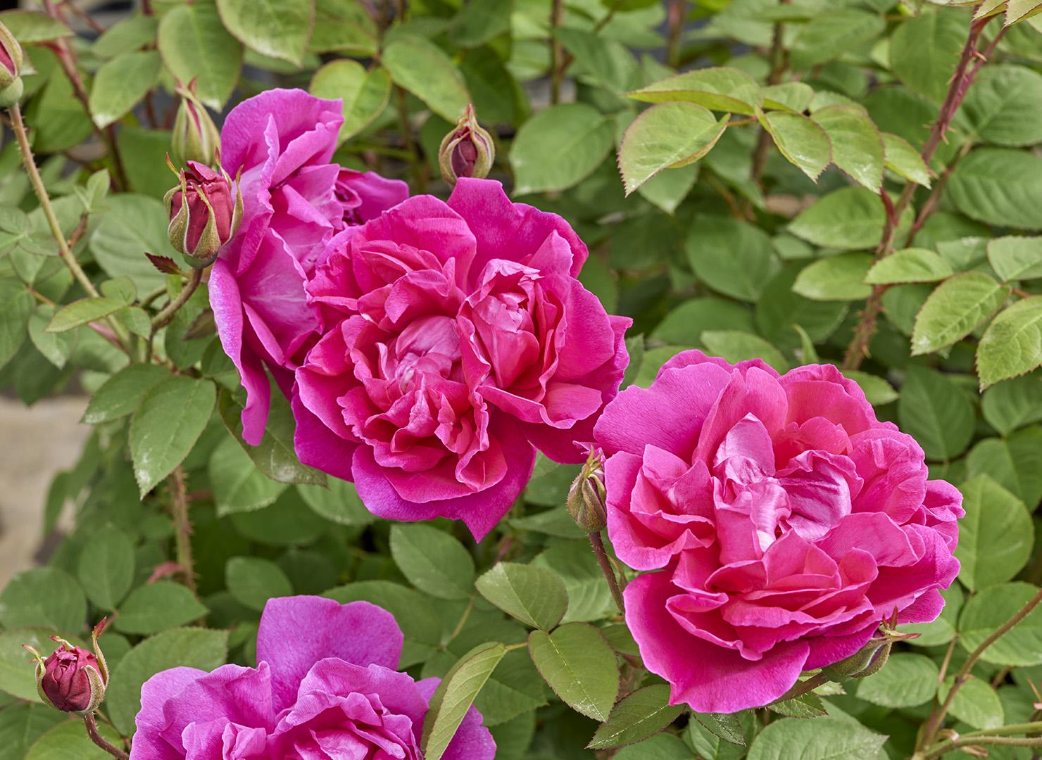 ローズ ア パルファム ドライ - Rose à Parfum de l'Hay