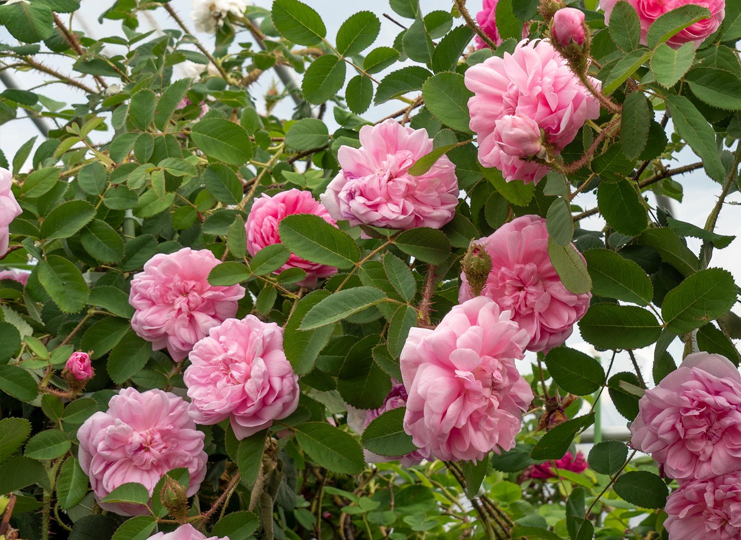 ロサ ケンティフォリア ムスコーサ - Rose centifolia muscosa