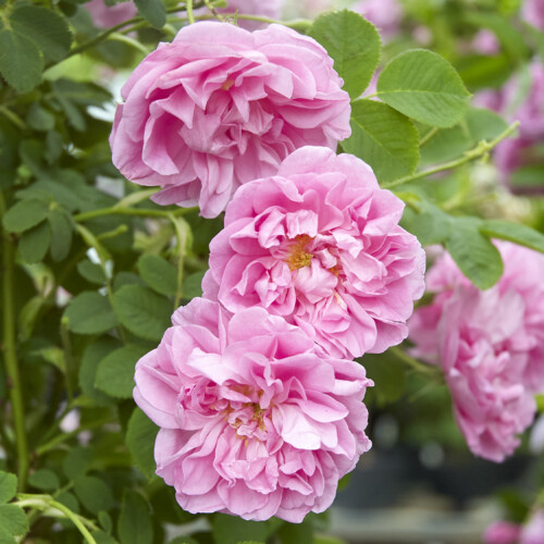 ローズ ド メイ - Rose de Mai