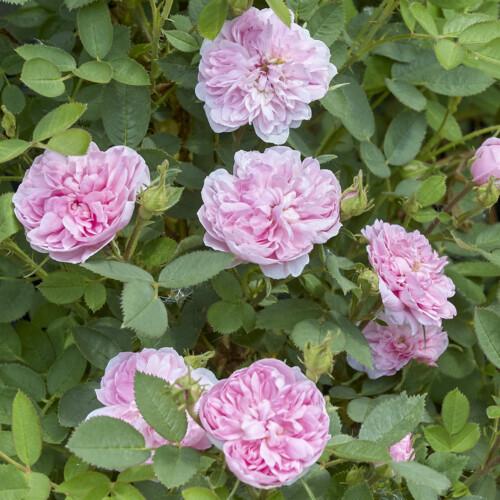 ローズ ド モー - Rose de Meaux