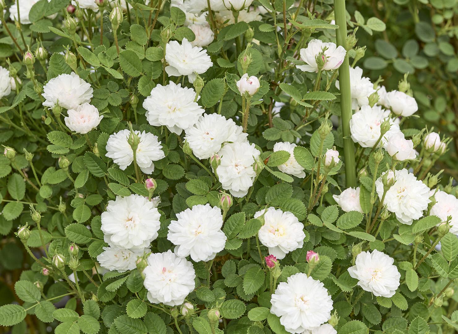 ローズ ド モー ホワイト - Rose de Meaux White